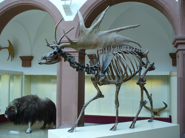 irish-elk-facts.jpg