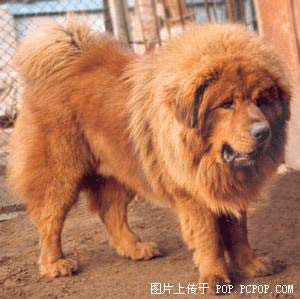 facts about tibetan mastiffs