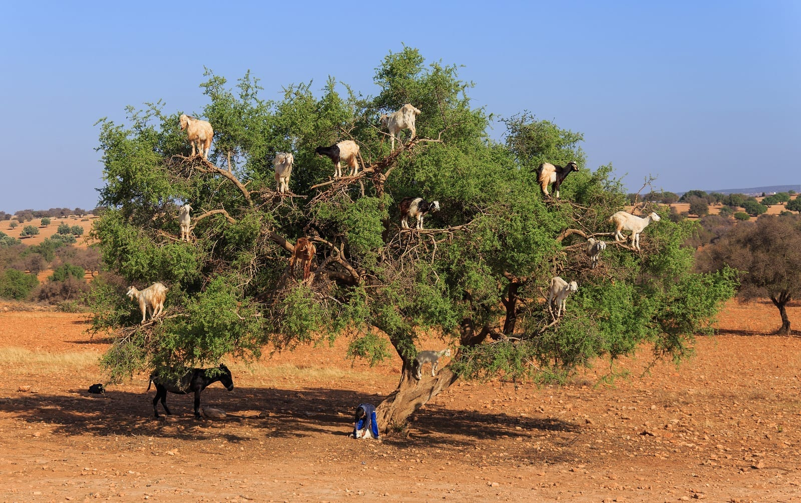Goats that climb trees interesting facts for The best small trees