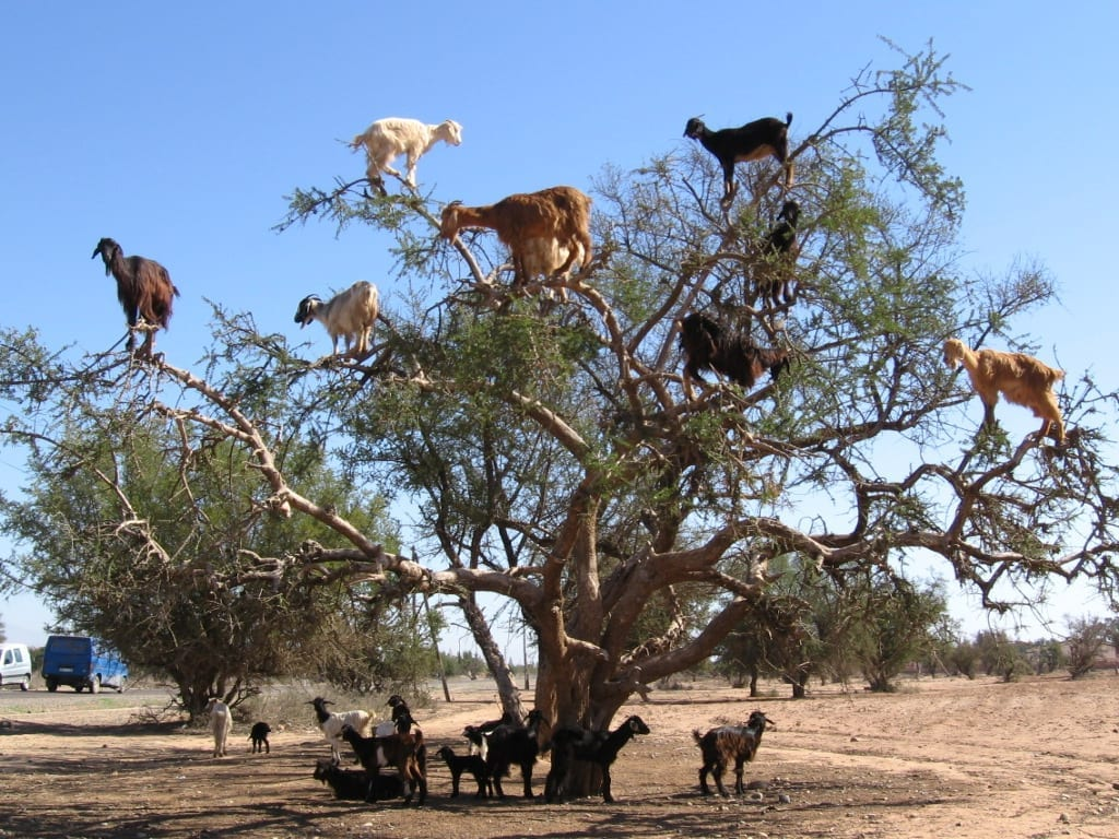 Image result for goats climbing trees