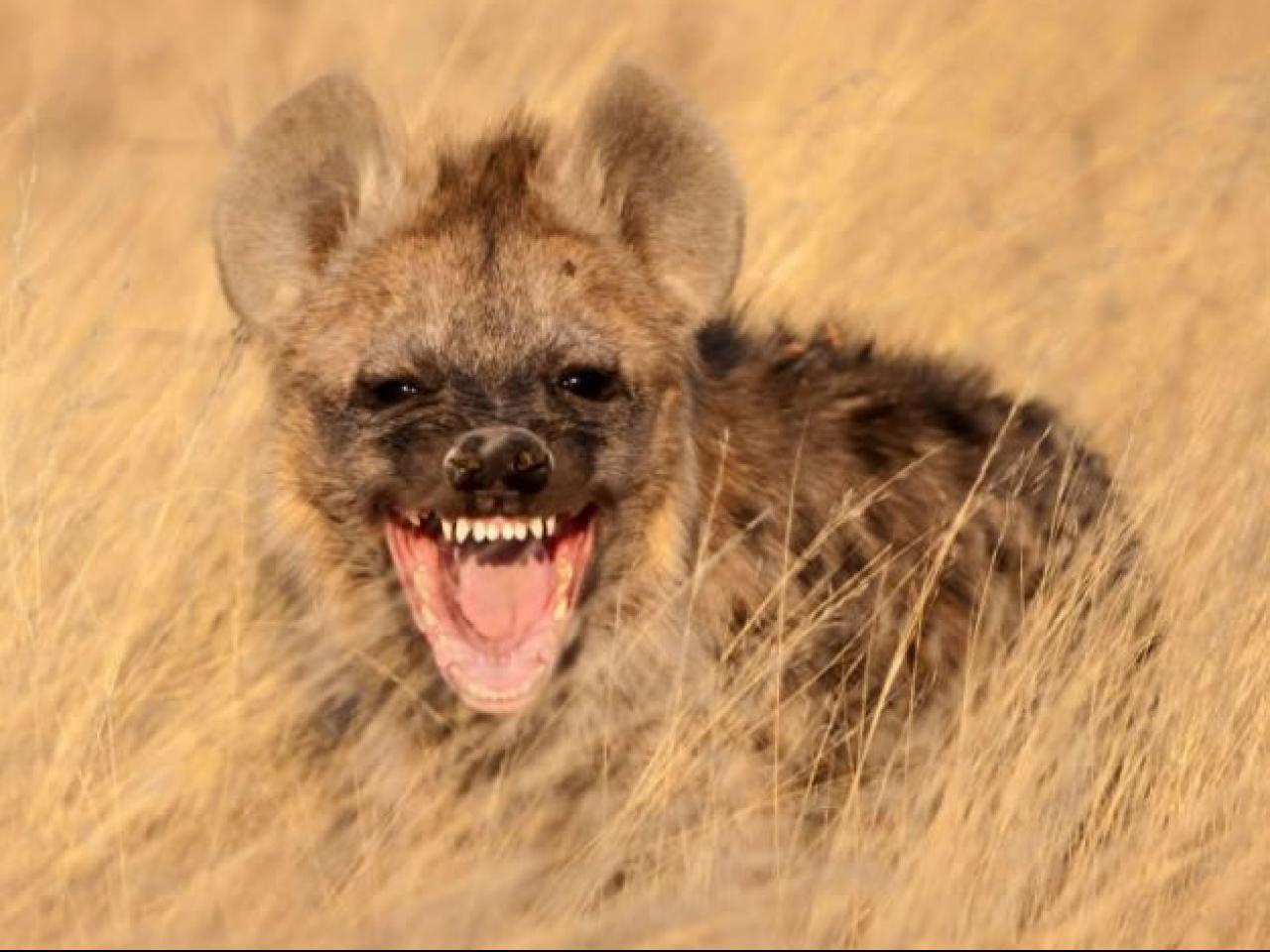 female hyena facts