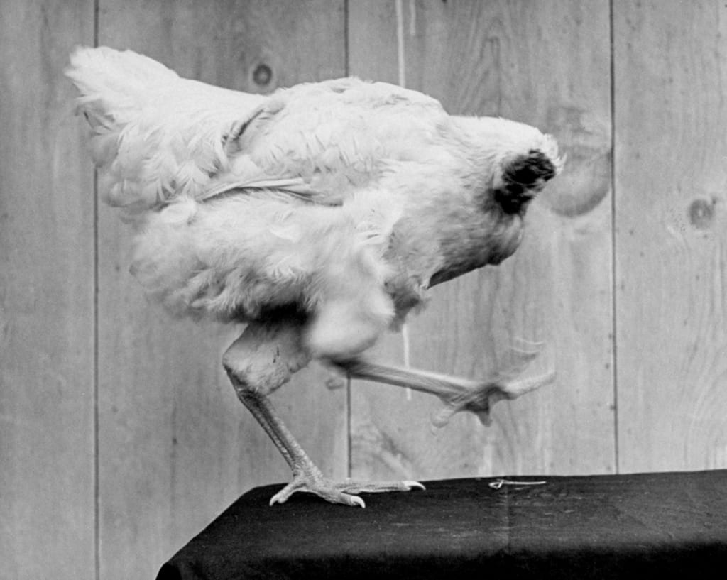 Mike The Headless Chicken Interestingfacts Org