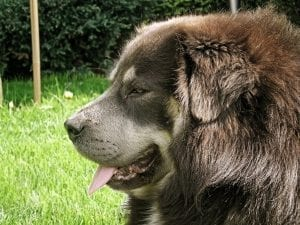 tibetan mastiff full grown