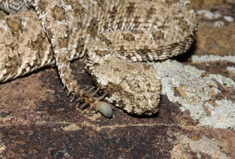 Persian viper / image source: Wikipedia