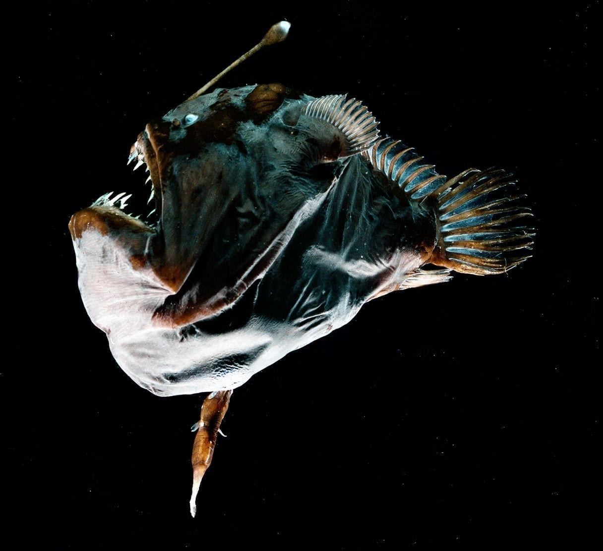 Angler Fish Interesting Mating Facts - Interesting Facts for Male Angler Fish Vs Female Angler Fish  186ref