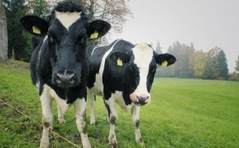 methane gas from cows