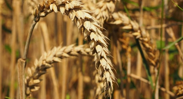 interesting facts about wheat