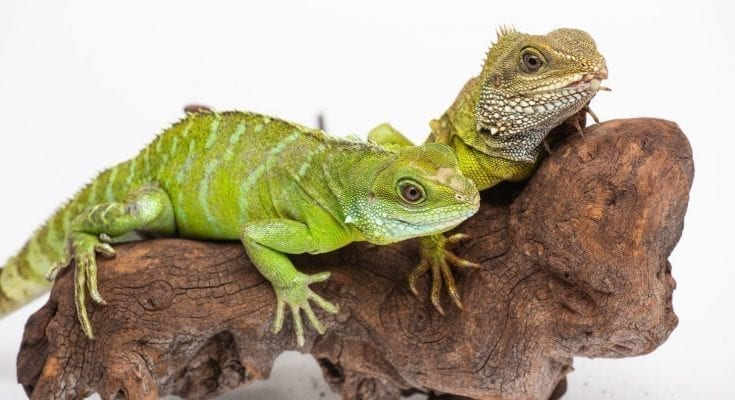asian water dragon facts