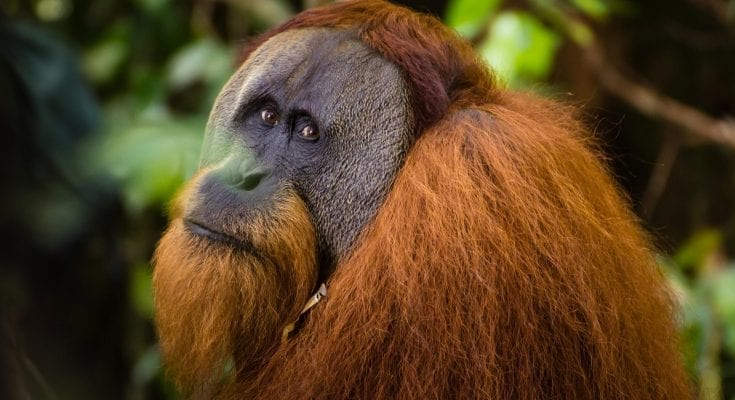 interesting facts about Orangutans