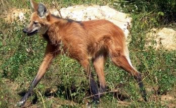 maned wolf facts