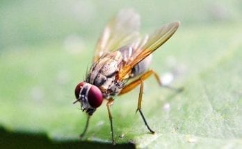Why do men and women store fat differently? The answer might lie with fruit flies