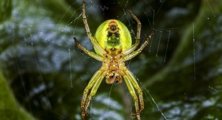 Newly discovered neon-green spider named after the 'Lady Gaga of mathematics'