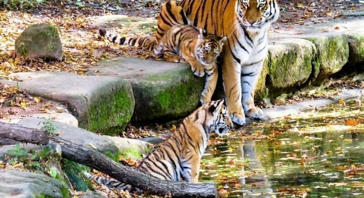 interesting facts about tigers