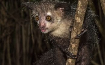 Madagascar's bizarre aye-aye has 6 fingers on each hand, scientists discover