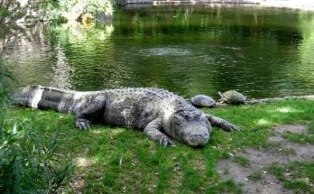 what is the difference between an aligator and a crocodile