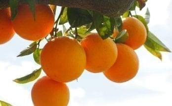 facts about oranges